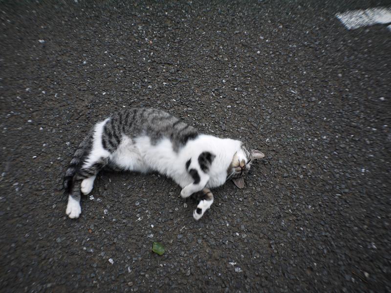 境内で伸び縮みするキジ白猫2