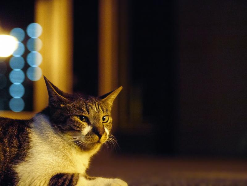 夕暮れ境内のキジ白猫2