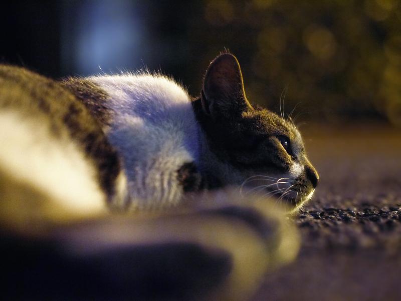 夕暮れ境内のキジ白猫3