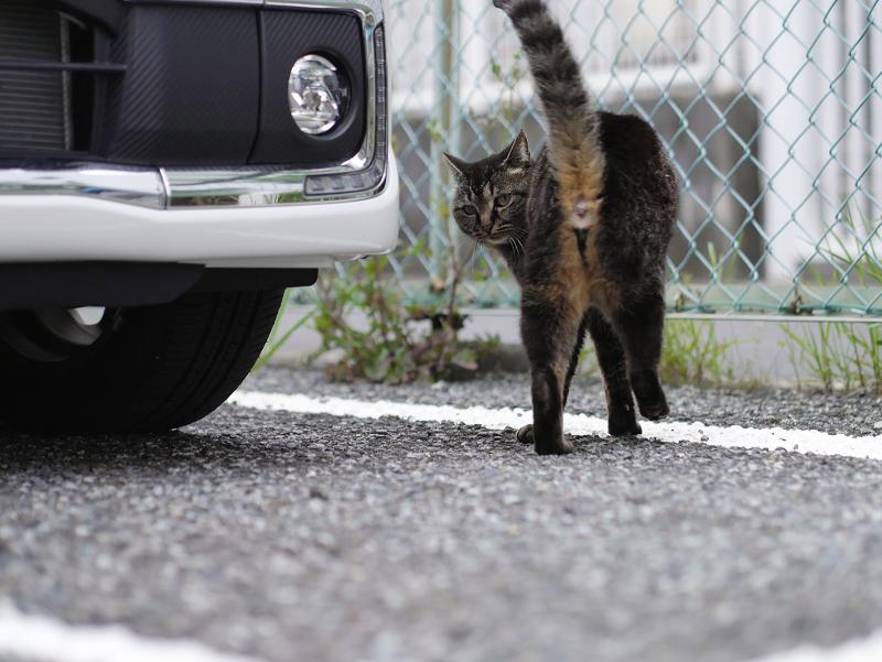 金網フェンスとキジトラ猫1