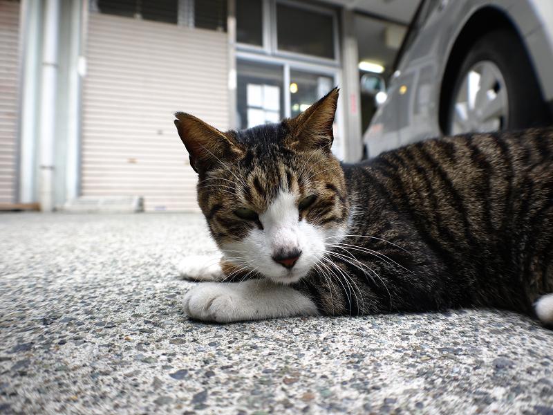 会社前の駐車場のキジ白猫2