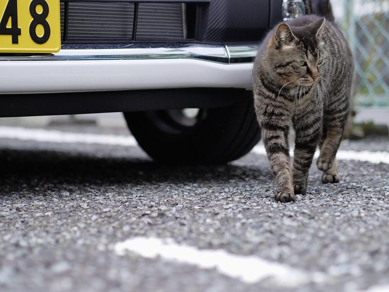 金網フェンスとキジトラ猫2