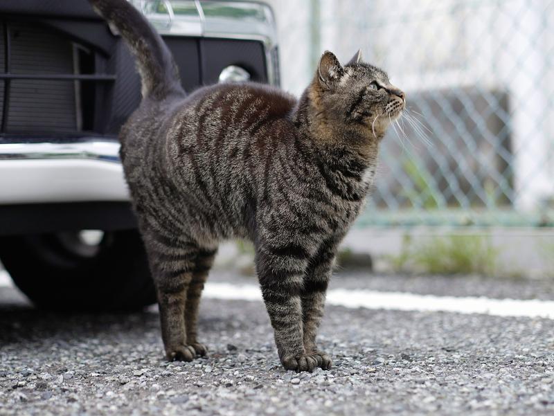 金網フェンスとキジトラ猫3