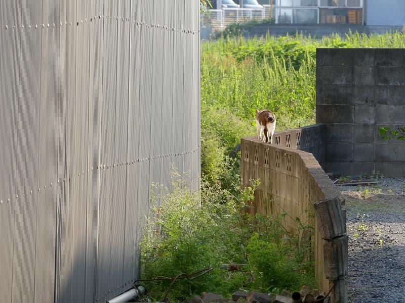 ブロック塀上を歩くキジ白猫2