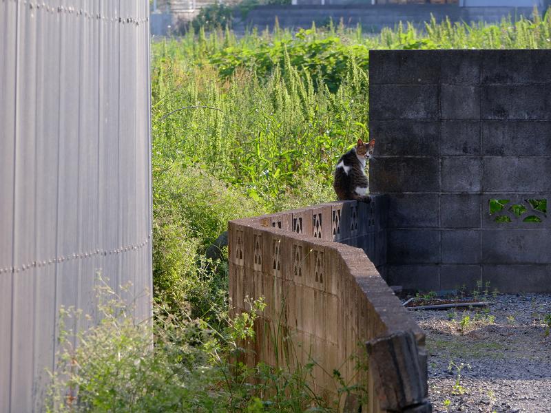 ブロック塀上を歩くキジ白猫4