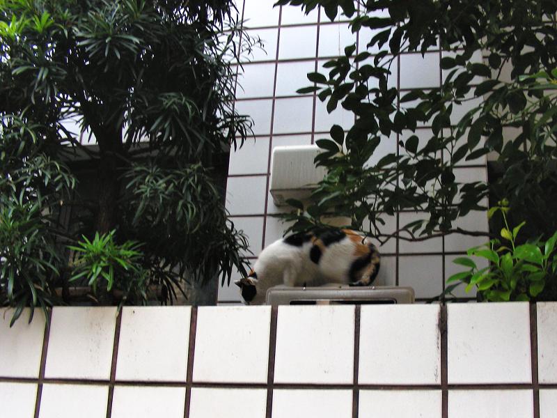 白壁タイルと三毛猫1