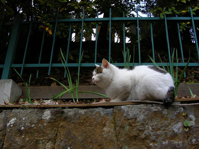 高い所から降りてきた白キジ猫1