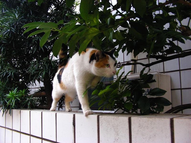 白壁タイルと三毛猫2