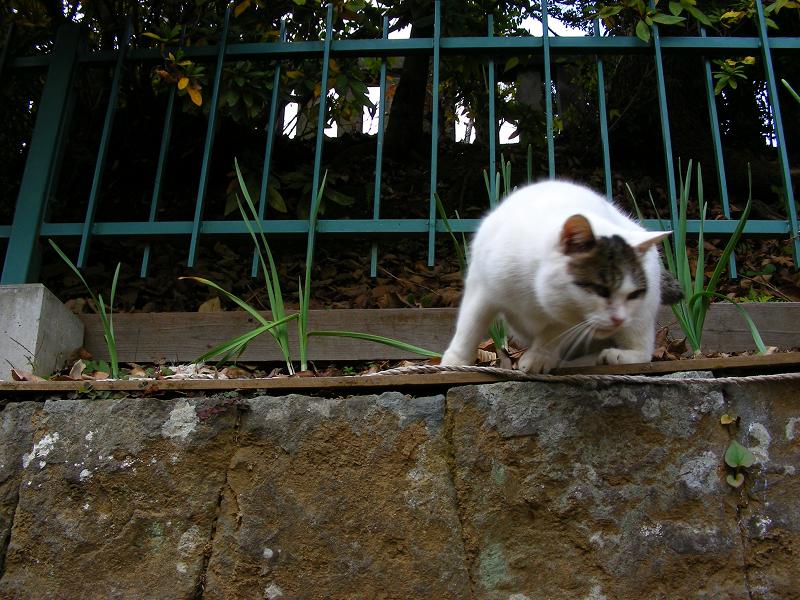高い所から降りてきた白キジ猫2