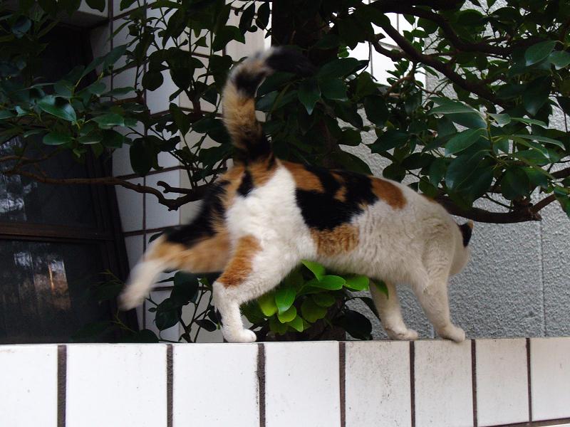 白壁タイルと三毛猫3
