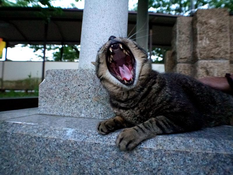 井戸横でアクビするキジトラ猫1