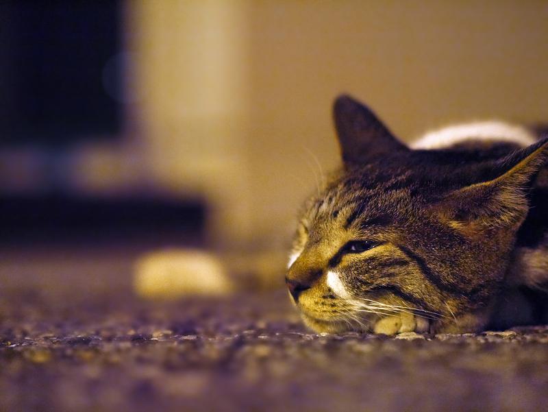 夕暮れ外灯とキジ白猫1