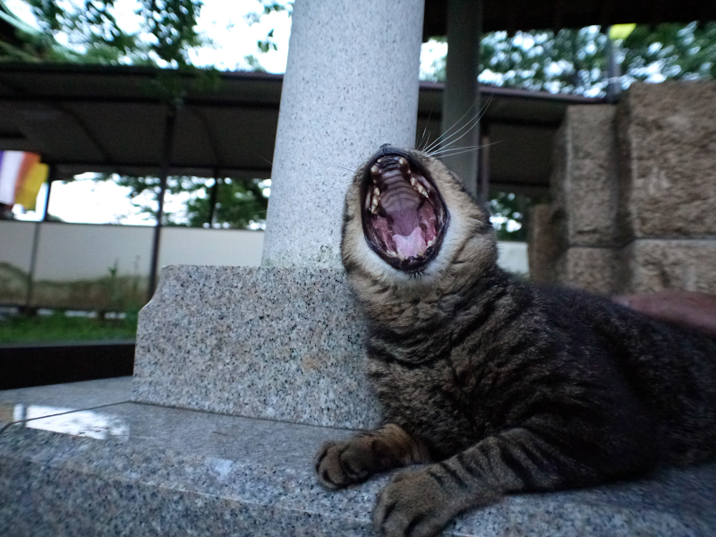井戸横でアクビするキジトラ猫2