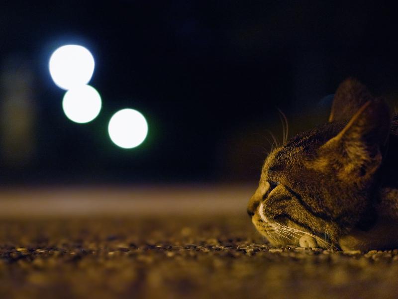 夕暮れ外灯とキジ白猫2