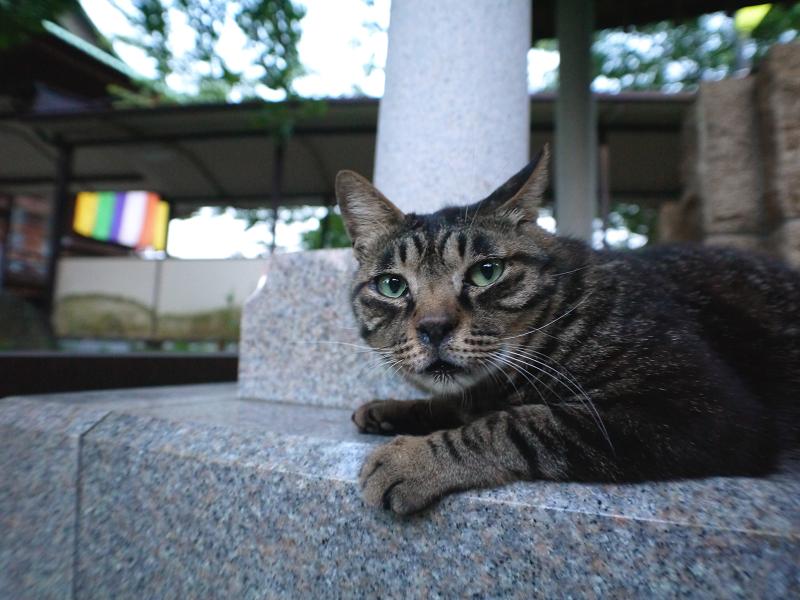 井戸横でアクビするキジトラ猫3
