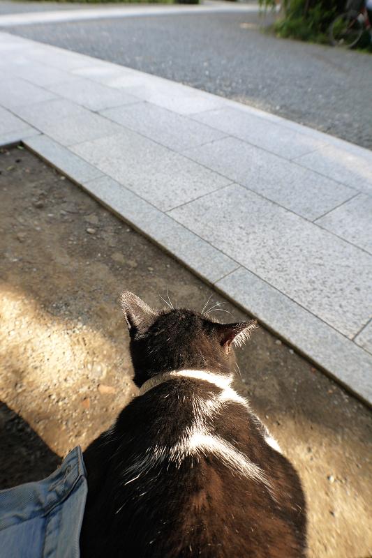 膝に乗って夕日を浴びる黒白猫1