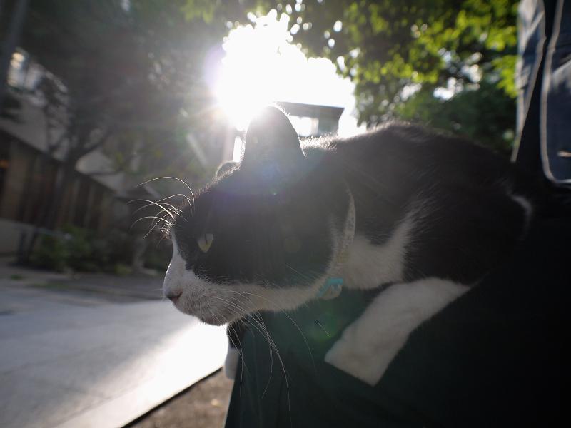 膝に乗って夕日を浴びる黒白猫3