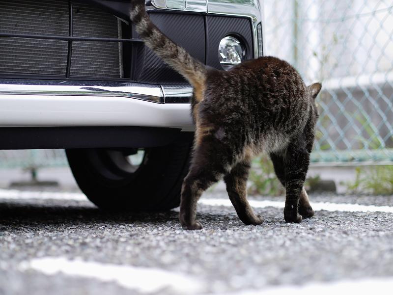 白い車と金網フェンスのキジトラ猫1