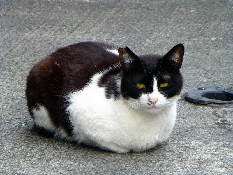 漁港で再会した黒白猫1