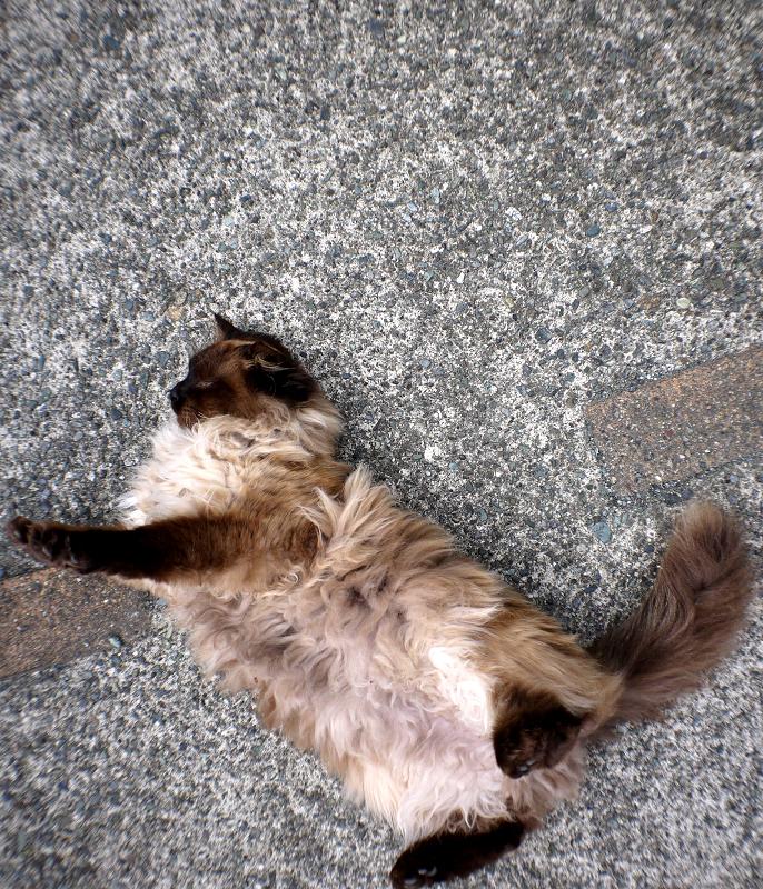 転げ回る毛長の猫1