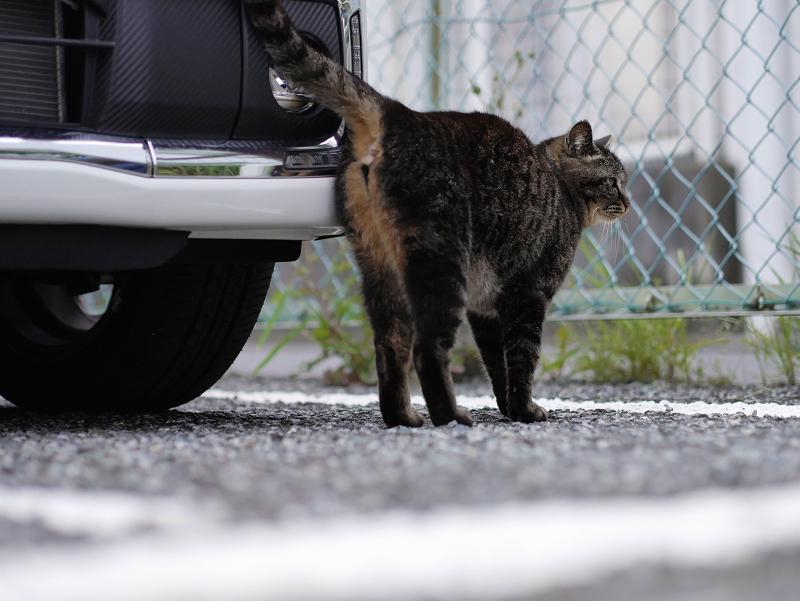 白い車と金網フェンスのキジトラ猫2