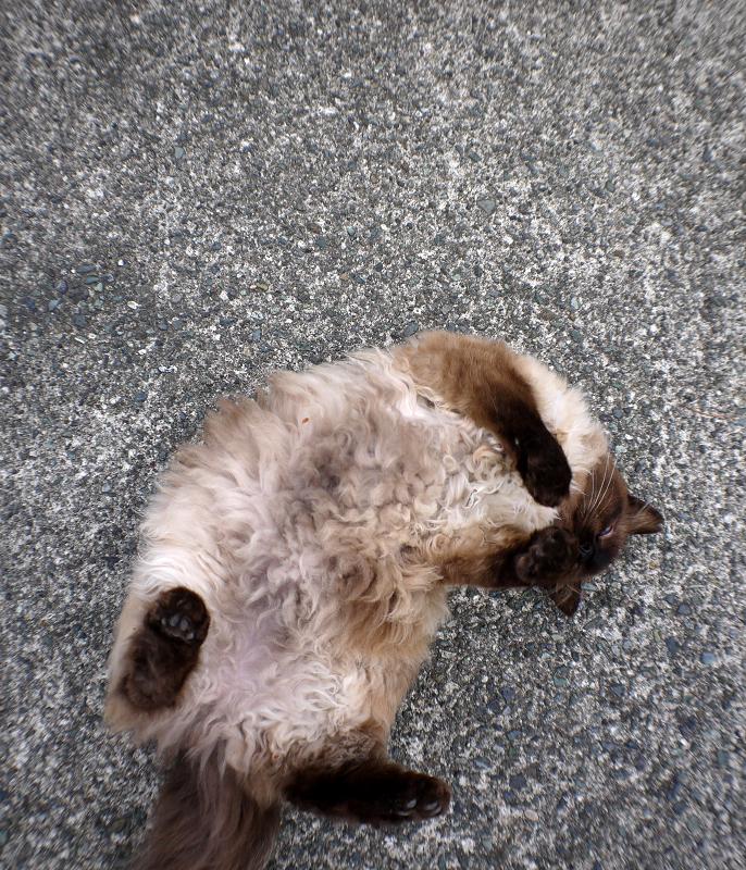 転げ回る毛長の猫3