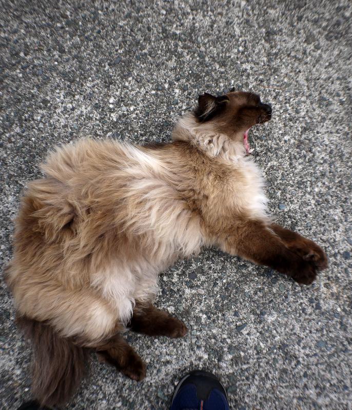 転げ回る毛長の猫4