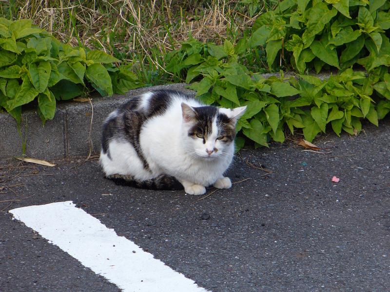 駐車場隅っこのキジ白猫1