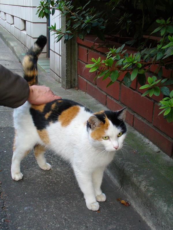 赤レンガタイルと三毛猫1