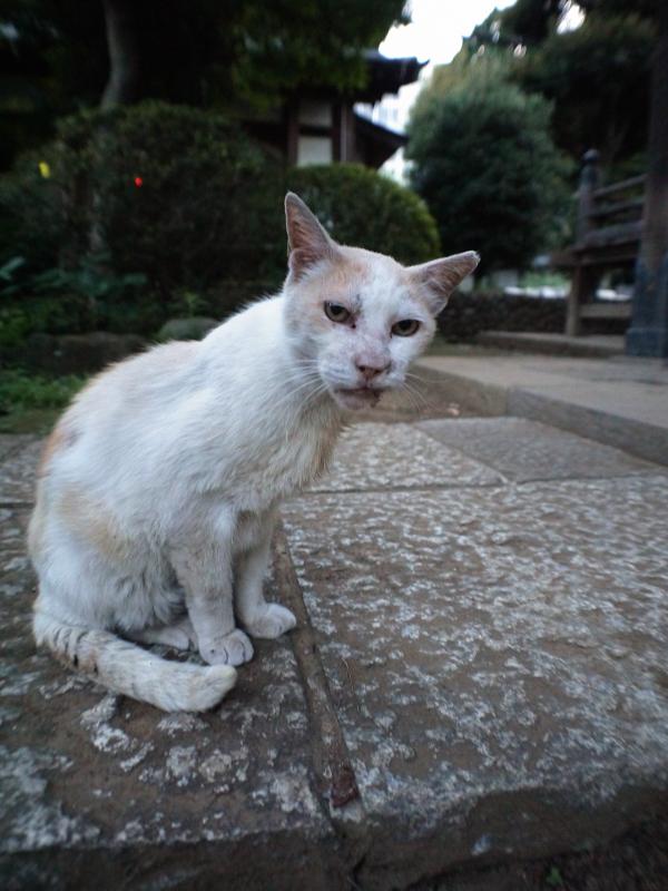 夏毛になった白茶猫