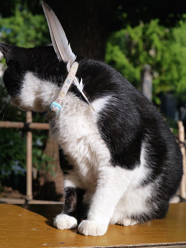 首輪に羽を挿してる黒白猫2