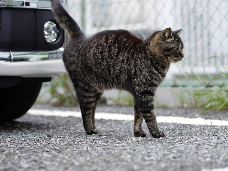 車の前をウロウロするキジトラ猫1
