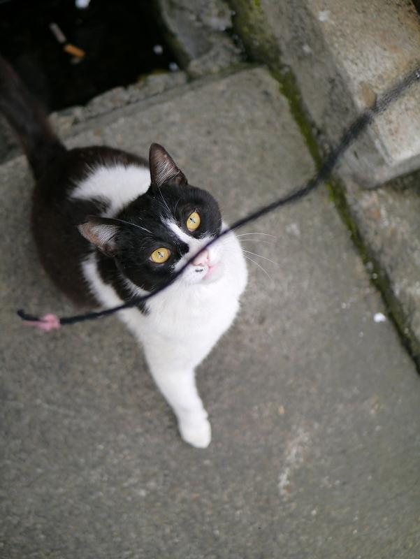 ゴムひもに興奮する黒白猫2