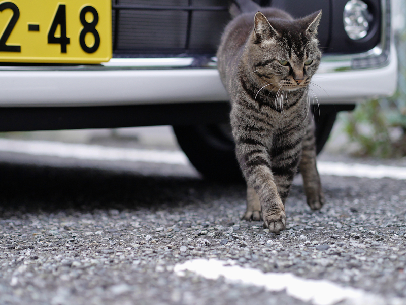車の前をウロウロするキジトラ猫2