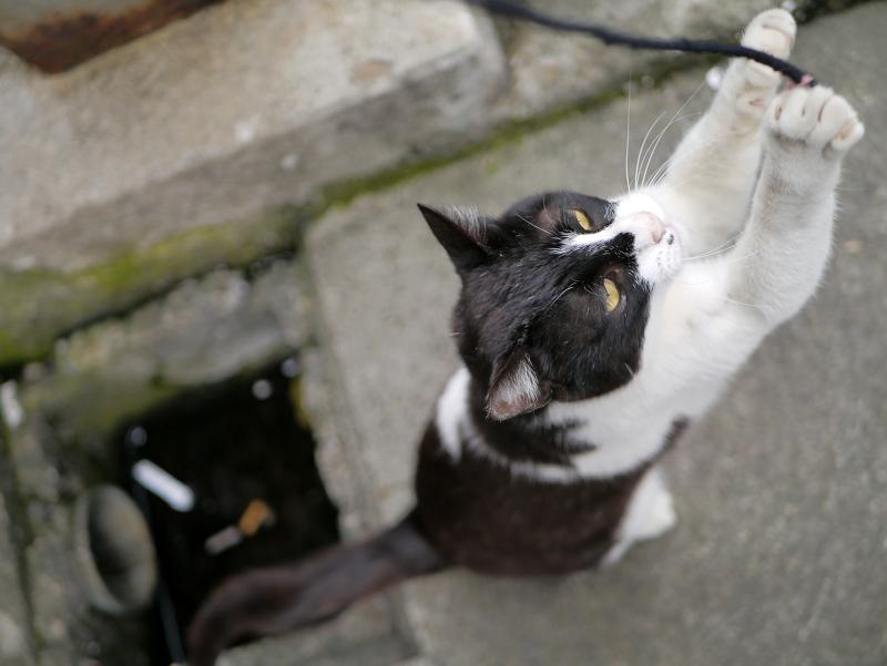 ゴムひもに興奮する黒白猫3