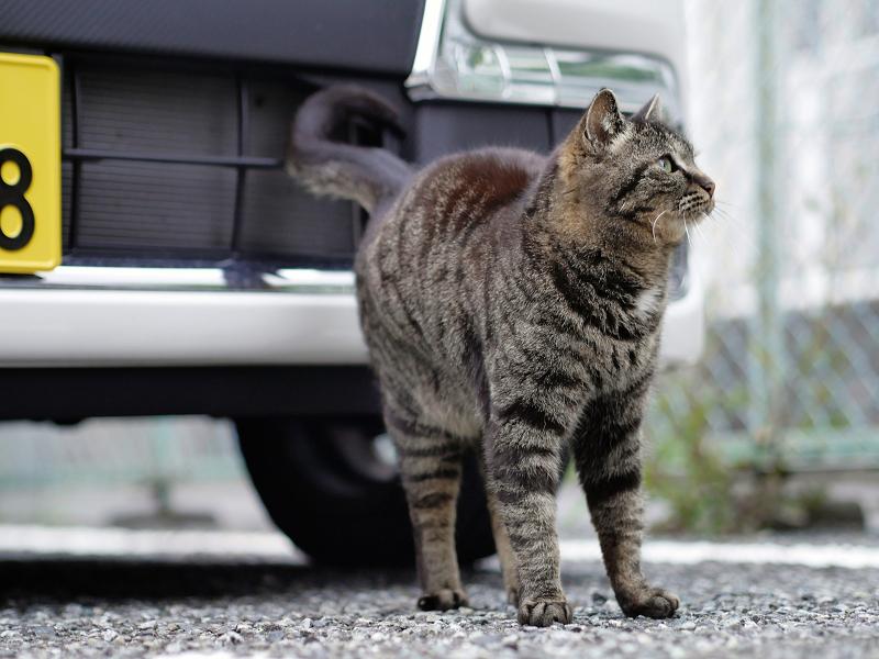 車の前をウロウロするキジトラ猫3