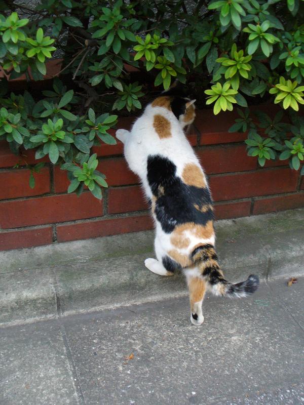 公園の三毛猫2