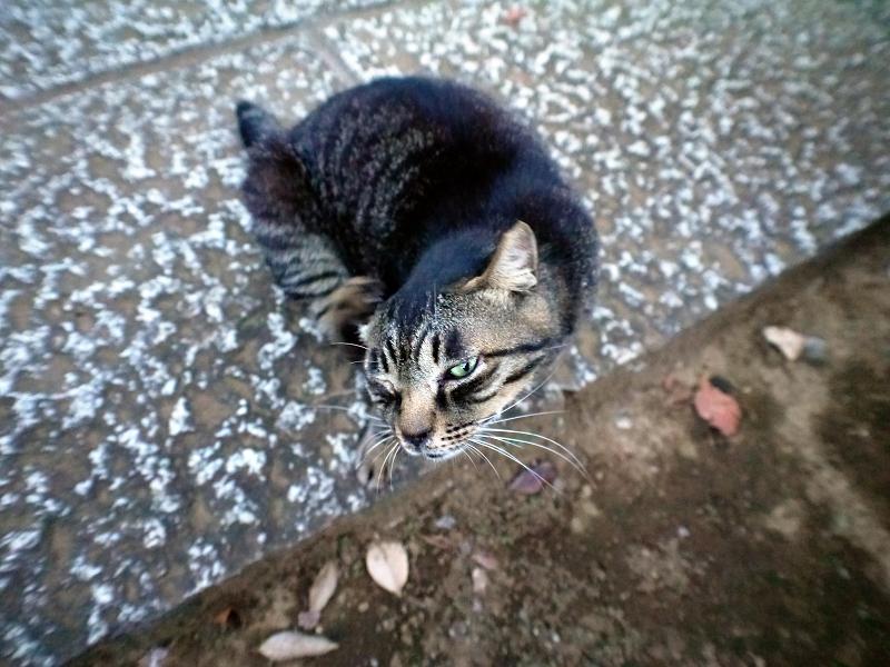 キジトラ猫の表情1
