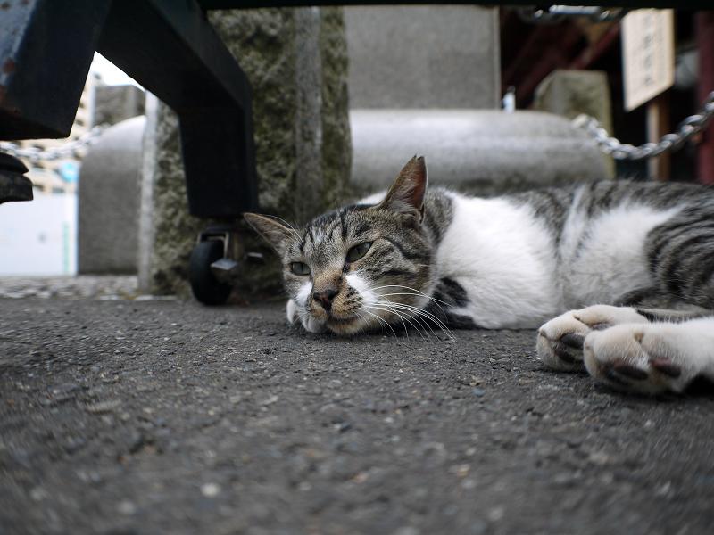 山門のキジ白猫のローアングル1
