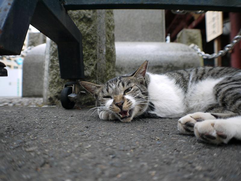 山門のキジ白猫のローアングル2