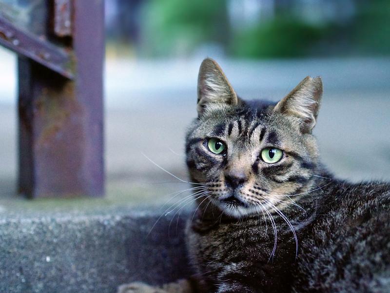 キジトラ猫の表情2