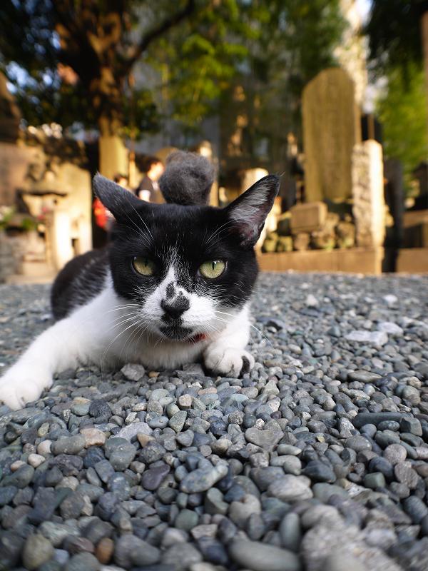 抜け毛玉を頭に乗せた白黒猫1