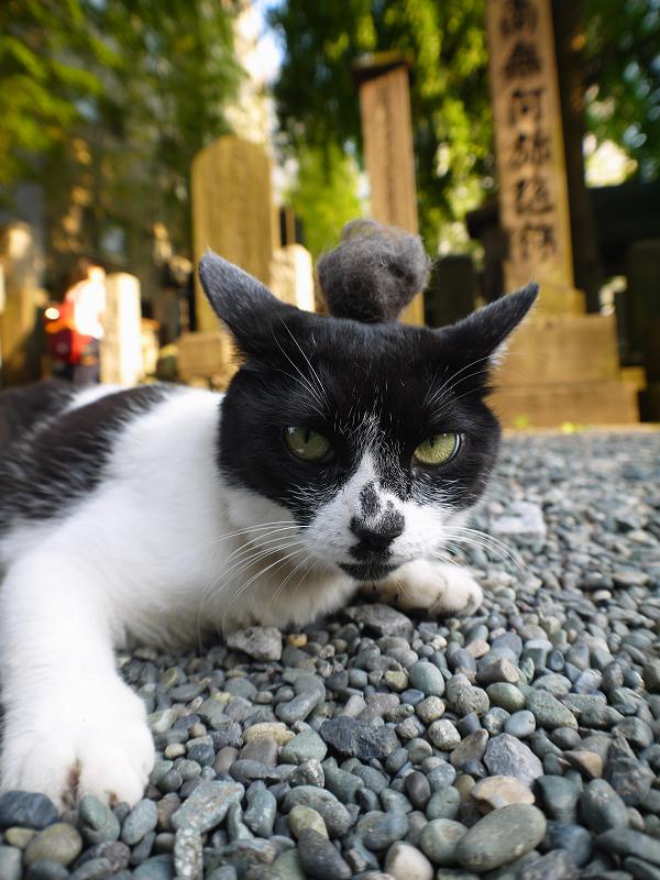 抜け毛玉を頭に乗せた白黒猫2