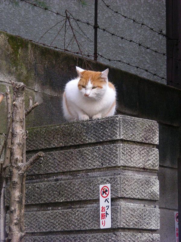 茶白猫と門扉2