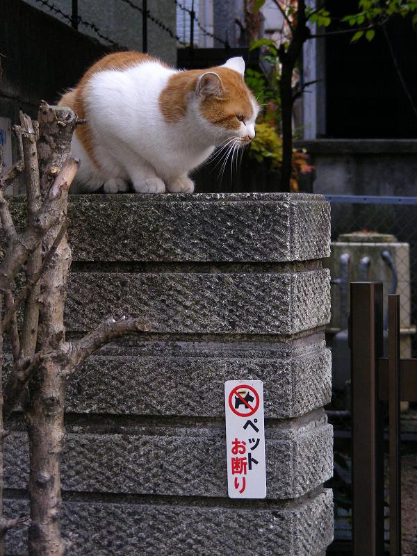 茶白猫と門扉3