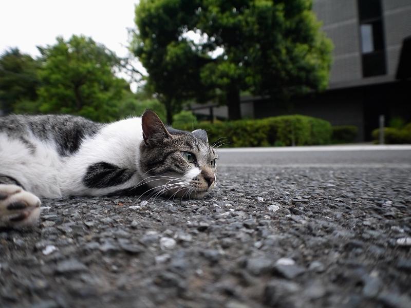 境内でペタンとしていたキジ白猫1
