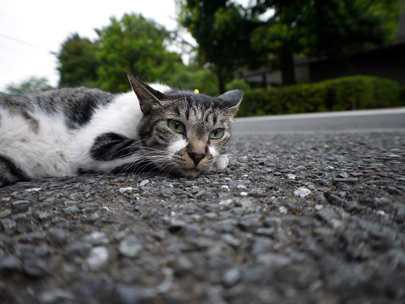 境内でペタンとしていたキジ白猫2