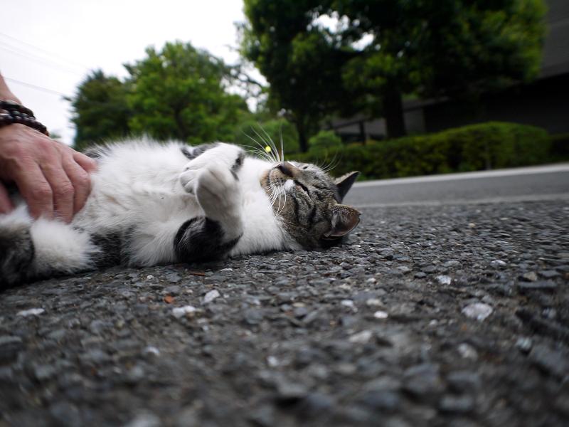 境内でペタンとしていたキジ白猫4