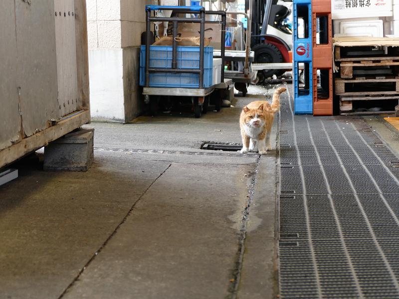漁港の茶白猫1