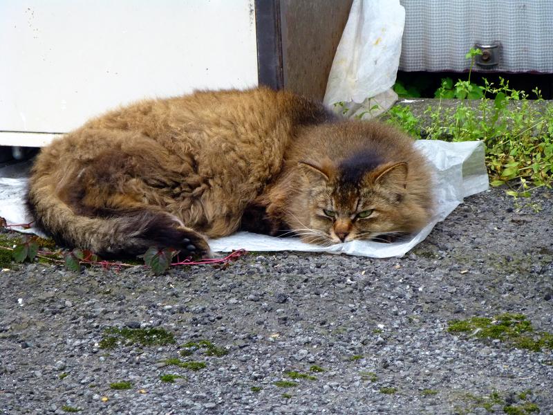 シート上で寝ている毛長の茶猫